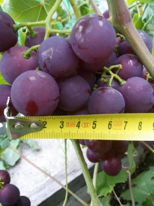 Виноград рошфор - способы высаживания сорта