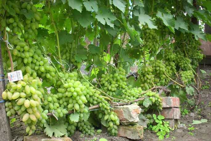 Виноград тимур - правила обрезки и систематичность полива