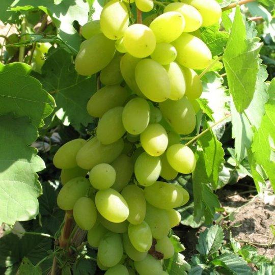 Виноград тимур - специфика плодов и агротехнические показатели растения