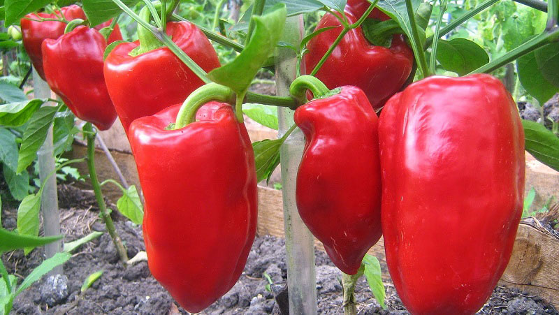 Выращивание болгарского перца в открытом грунте - схема посадки, уход, агротехника