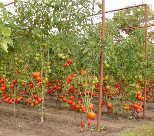 Выращивание помидоров в открытом грунте - какой сорт выбрать для посадки