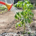 Выращивание помидоров в открытом грунте