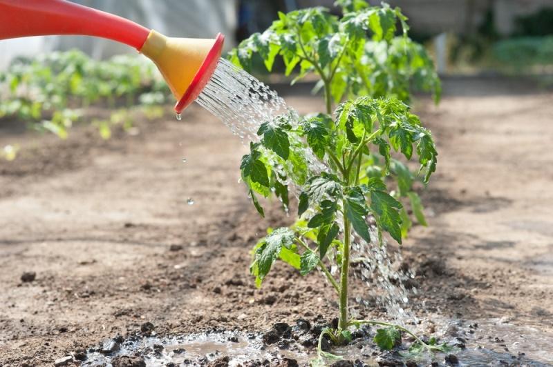 Выращивание помидоров в открытом грунте - полив, подкормка, обработка от вредителей