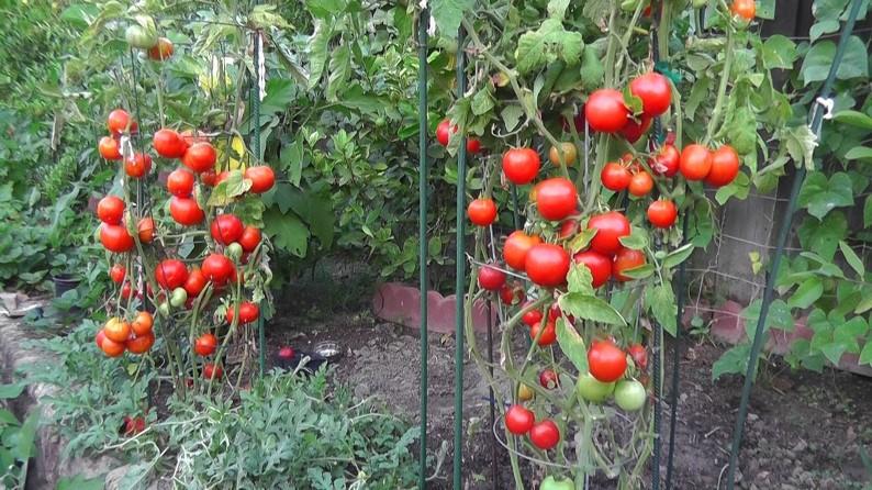 Выращивание помидоров в открытом грунте - уход за культурой