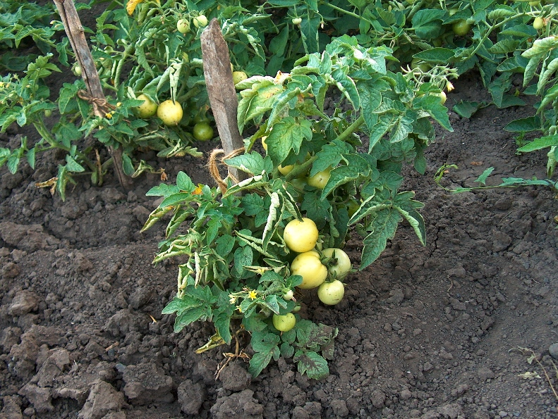 Выращивание помидоров в открытом грунте - выбор места и подготовка почвы