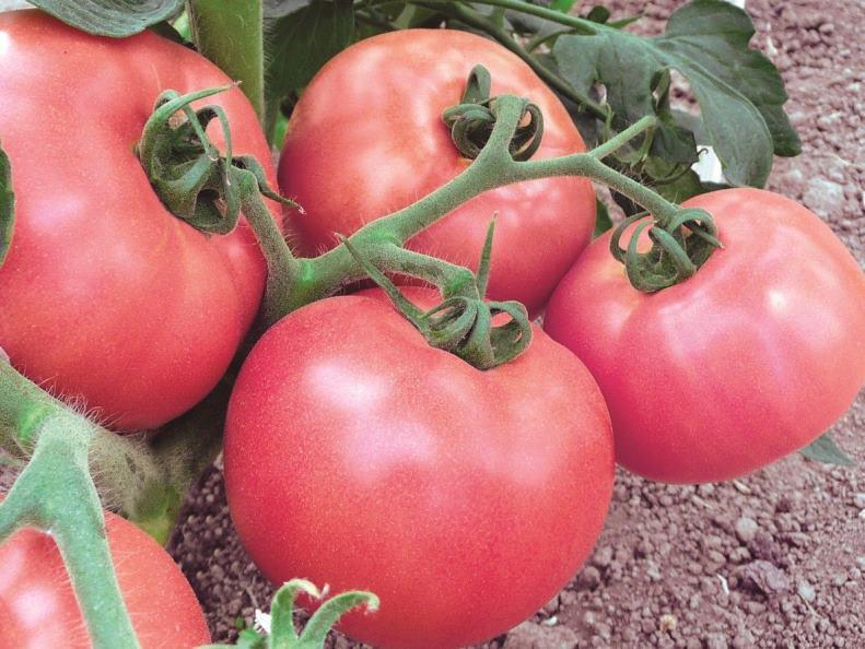 Зависимость степени урожайности помидоров Вельможа в зависимости от региона культивации