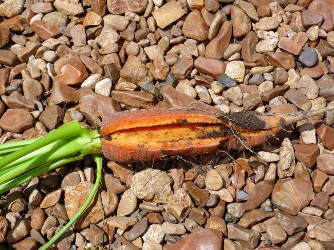 Что делать, когда трескается морковка - устраняем причину