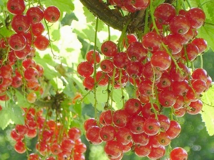 Десертная красная смородина Альфа