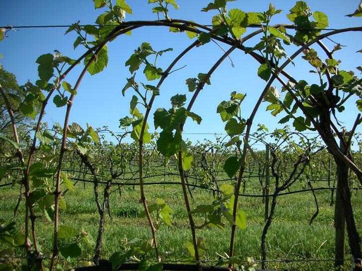 Для чего необходимо подвязывать виноградную лозу