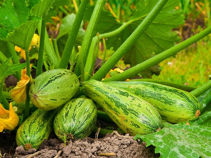 Кабачки цуккини - посадка, выращивание и уход за овощем