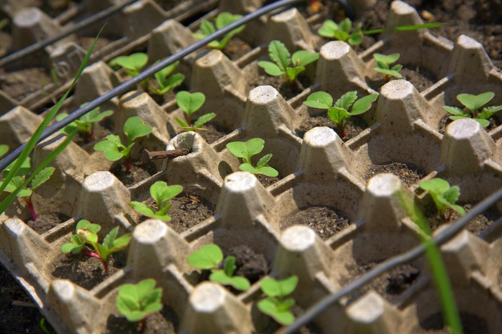Как организовать импровизированную грядку для посадки редиски из яичных лотков