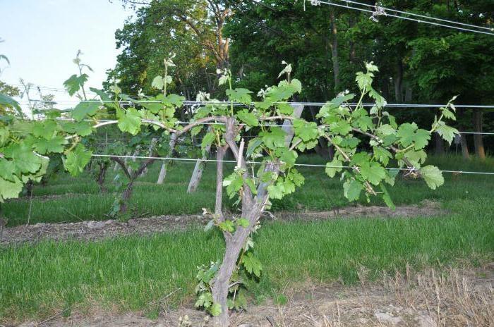 Как подвязать виноград - веерное размещение виноградной лозы