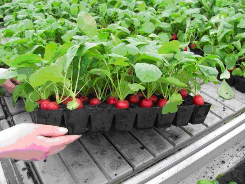 Как получить весенний урожай редиса не выходя из дома