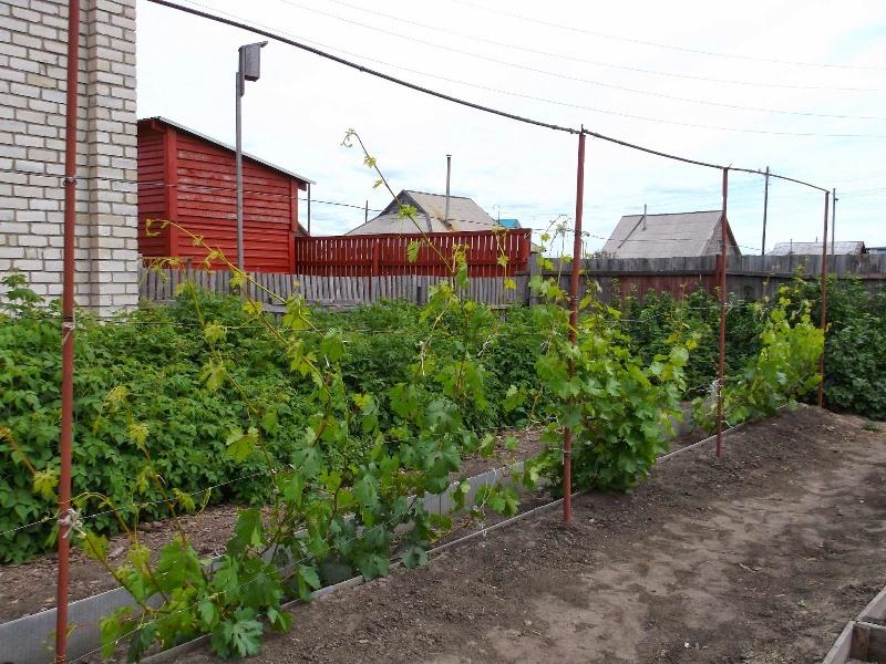 Как построить одноплоскостную шпалеру для подвязки винограда