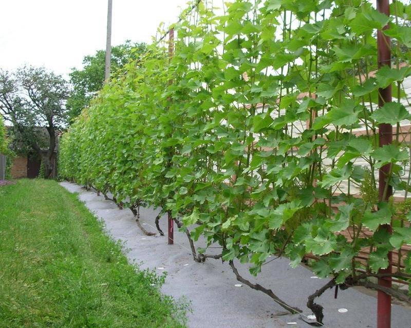 Как правильно подвязать виноград весной