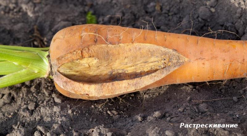Как предотвратить появление трещин на корнеплодах моркови