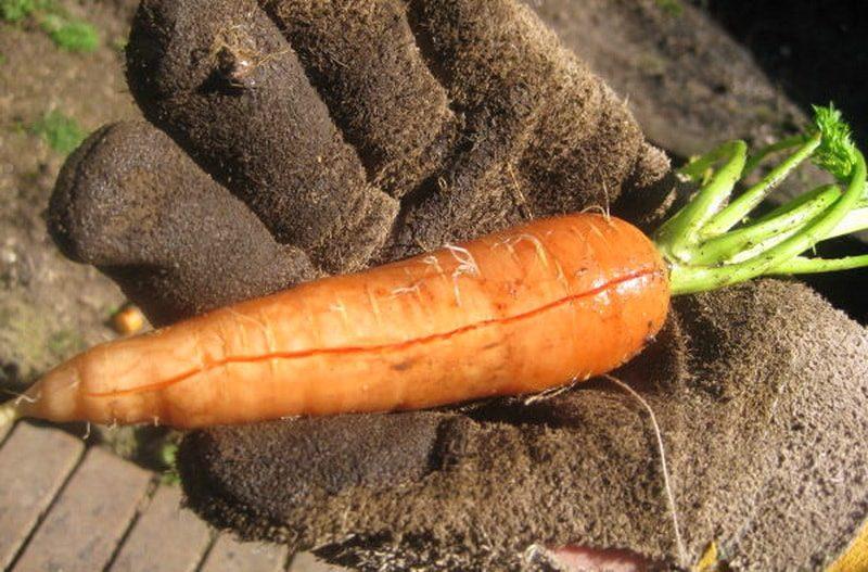 Как уберечь урожай моркови от растрескивания в земле