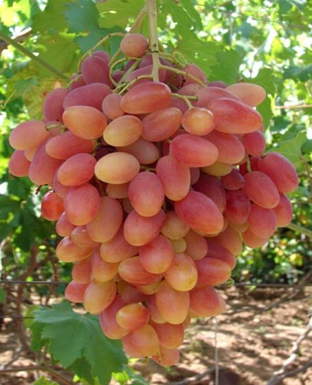 Как ухаживать за виноградом сорта Преображение