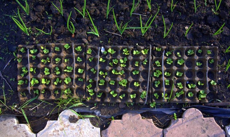 Как вырастить редиску в упаковке из под яиц - секреты огородников
