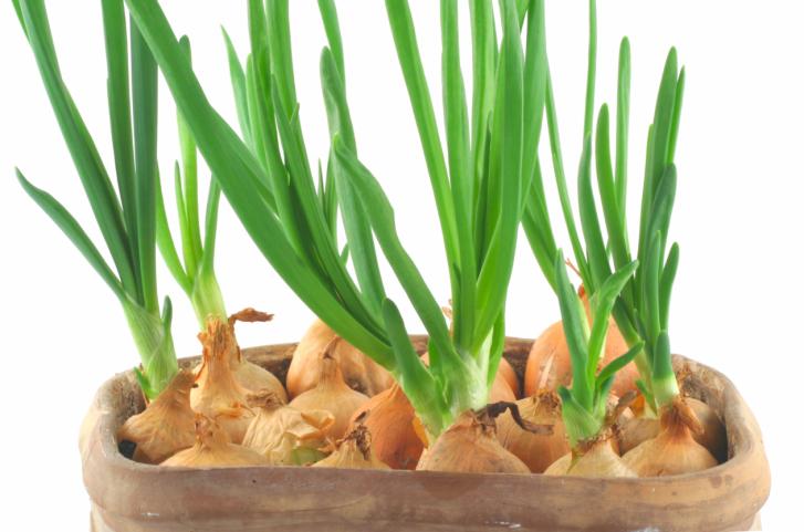 Как вырастить зеленый лук на подоконнике - сроки посадки, температурный режим