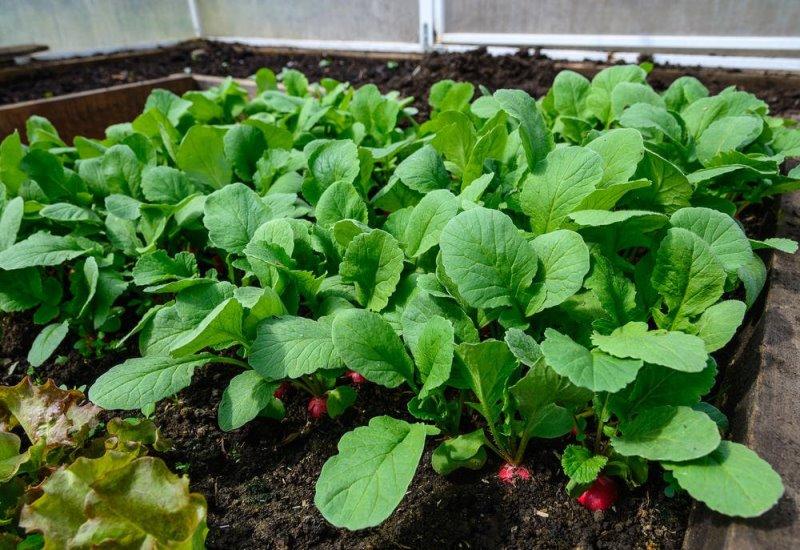 Лучшие сорта редиски для выращивания в теплице из поликарбоната