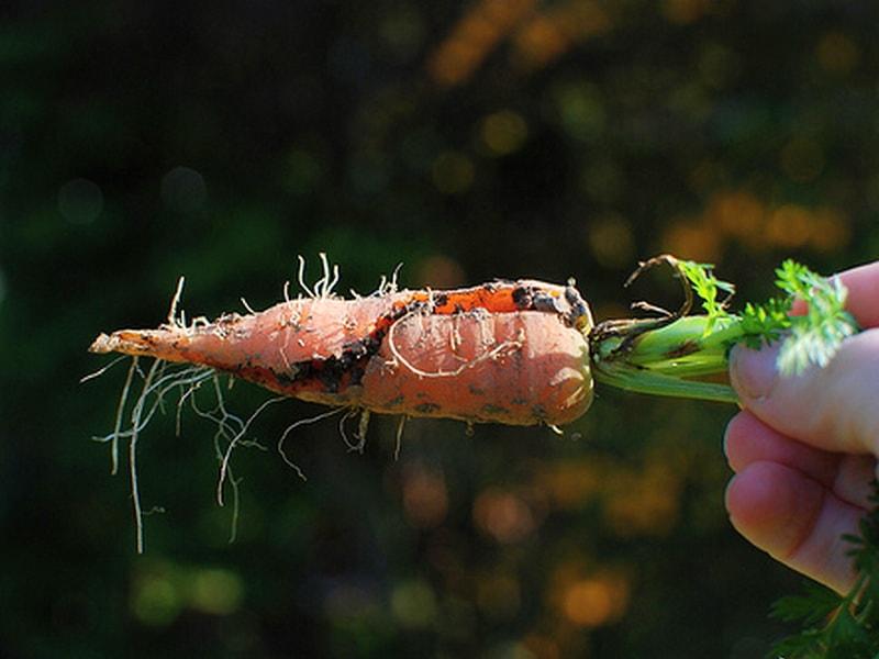 Морковь трескается в земле - как предотвратить