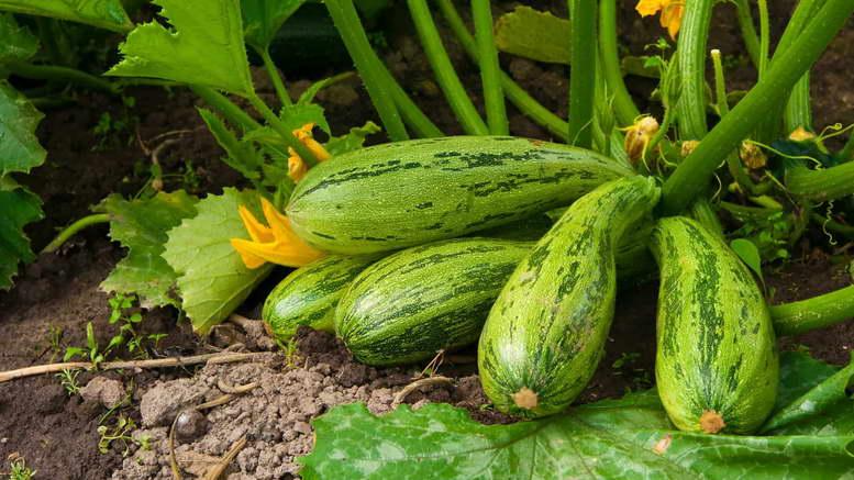Можно ли вырастить цуккини посевом семян в открытый грунт