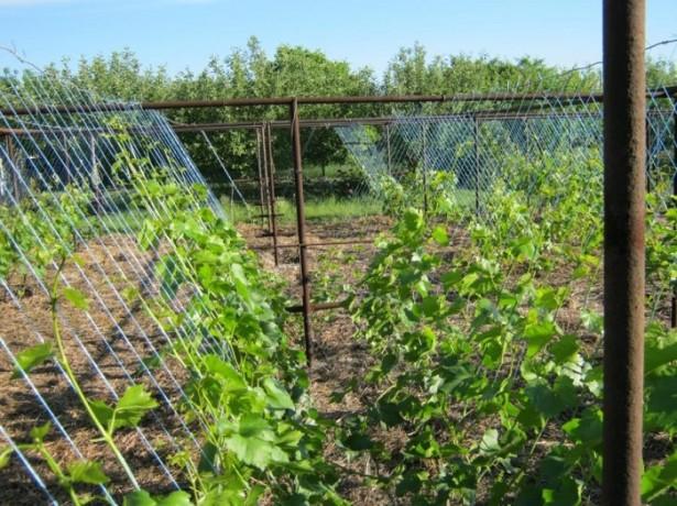 Неординарный способ подвязки виноградной лозы