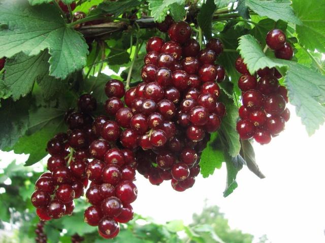 Невосприимчивая к засухе красная смородина сорта Виксне