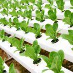 Правильное выращивание редиски на подоконнике