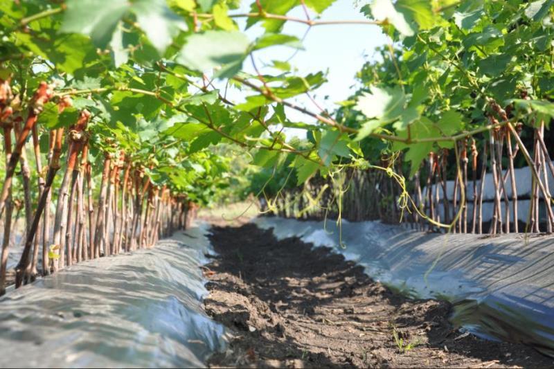 Особенности посадки винограда Преображение - учитываем размер куста