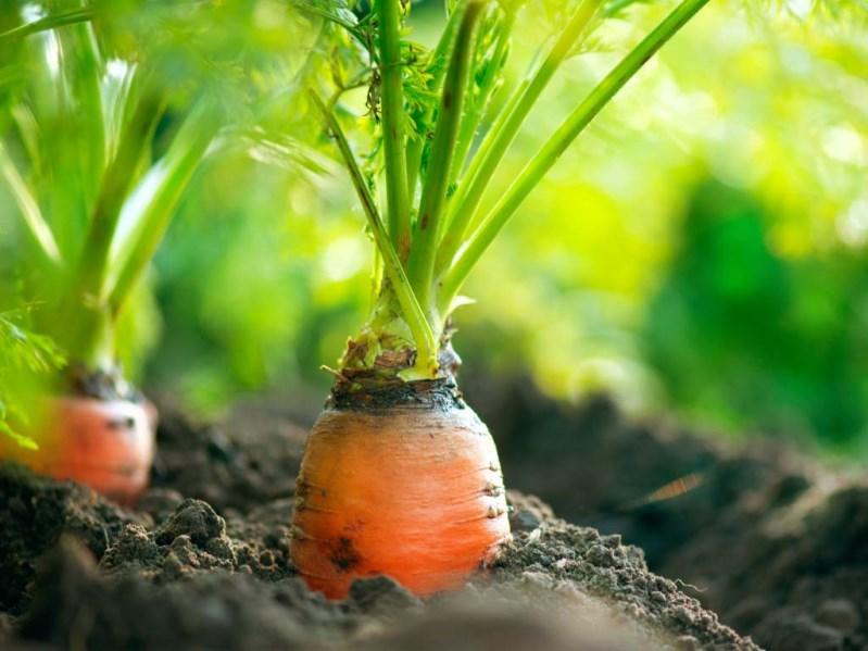 Почему важно предотвратить растрескивание моркови