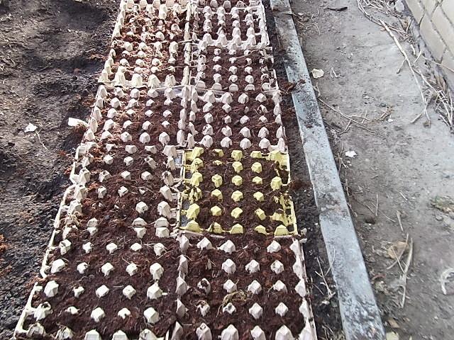 Подготовка яичных лотков для посева редиски