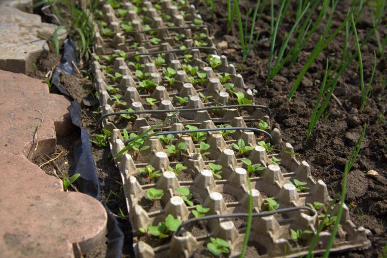 Посадка семян редиса в яичные кассеты в открытом грунте