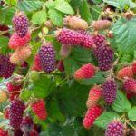 Секреты выращивания ежемалины и ухода за кустарником