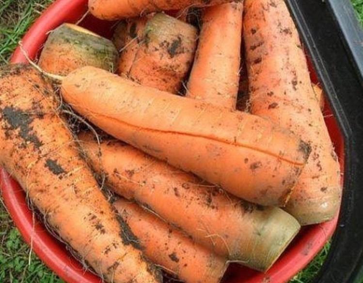 Причины, вызывающие трещины моркови