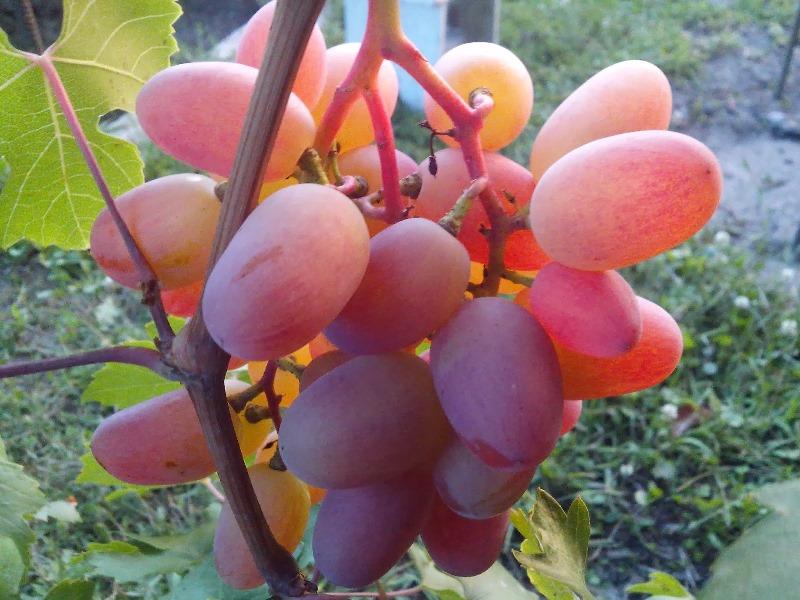 Раннеспелый, не подверженный горошению, морозоустойчивый виноград Преображение