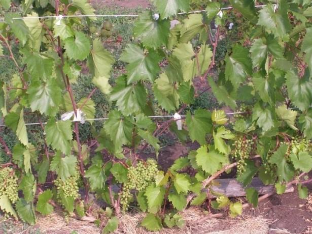 Различия сухой и зеленой подвязки виноградного куста