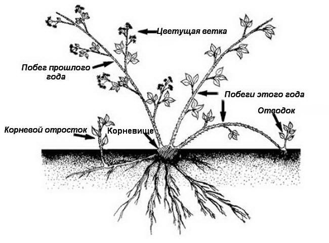 Размножение ягодного кустарника ежемалины отводками
