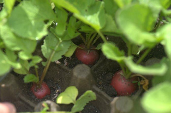 Редис в яичных лотках - когда ждать урожай овощей