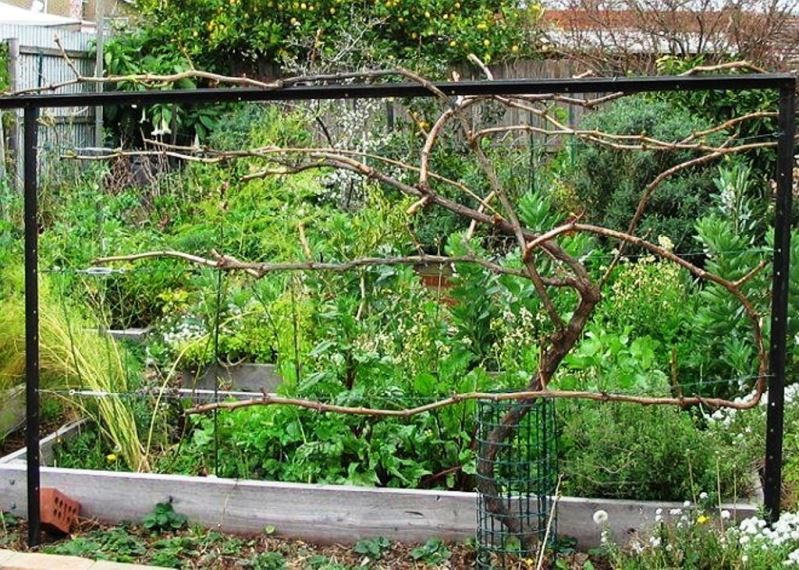 Секреты сухой подвязки винограда - наглядная схема