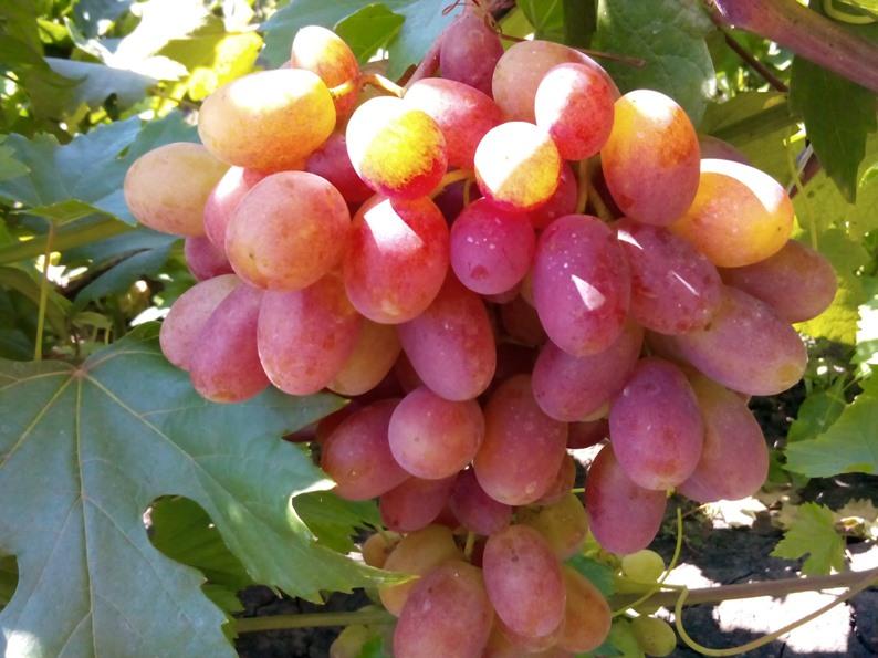 Уход за виноградом преображение - как получить высокий урожай