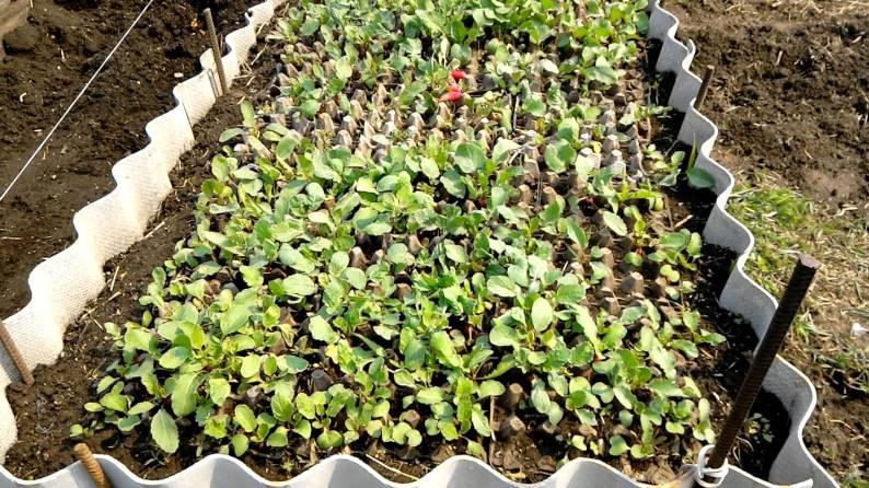 Урожай редиса, полученный в яичных лотках