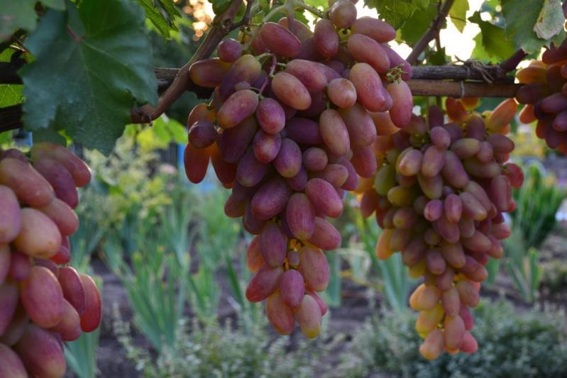 Виноград Преображение - гибрид столового винограда