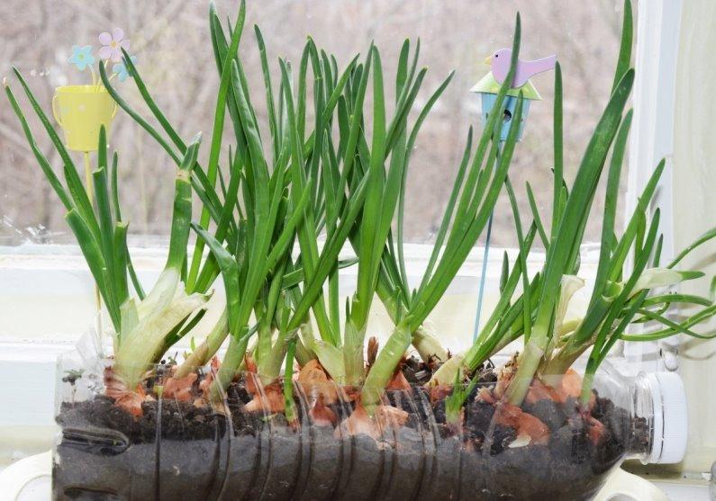 Выгонка пера лука в земле зимой в домашних условиях