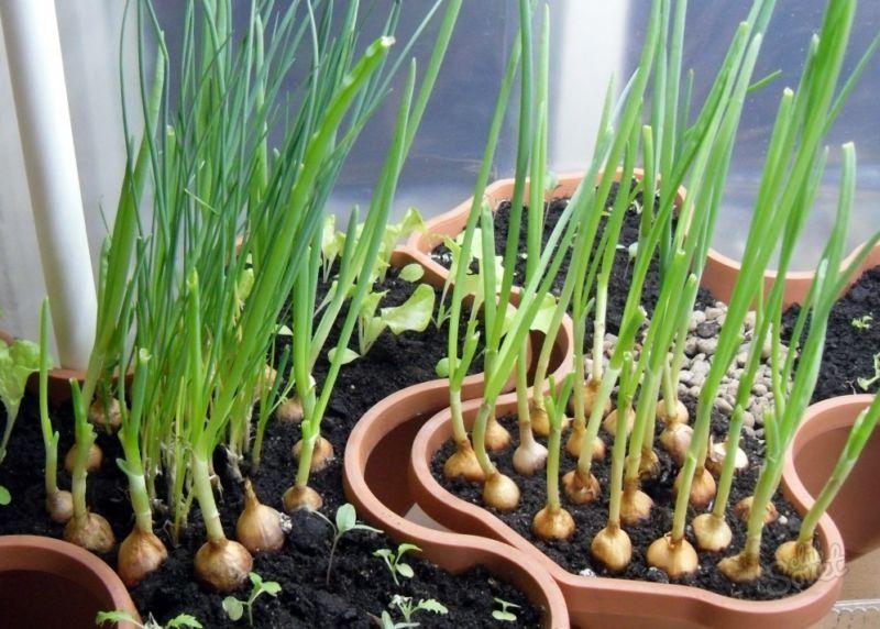 Выращивание лука на зелень из севка в квартире на подоконнике