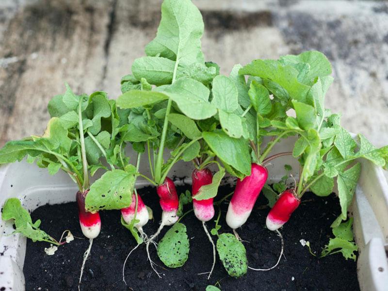 Выращивание редиса на подоконнике в квартире круглый год