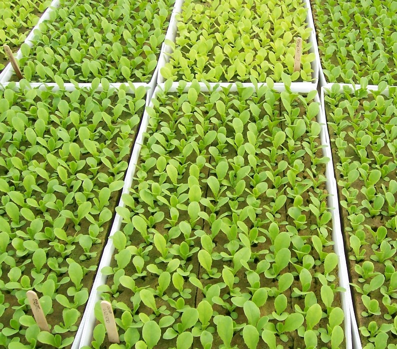 Выращивание редиса в теплице из поликарбоната - на что стоит обратить внимание