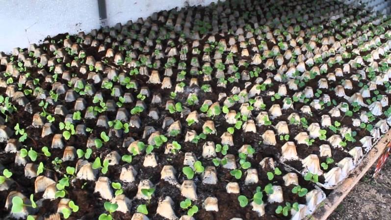 Выращивание редиса в яичных лотках - оригинальный способ быстро получить урожай