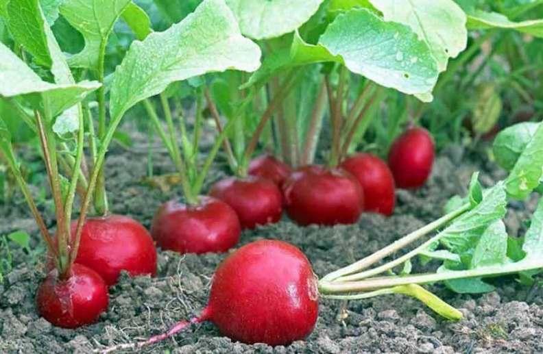 Выращивание редиски в открытом грунте - когда ждать урожай